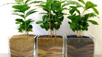 Бизнес идея — Кофейное дерево. Выращивание и продажа кофейных деревьев