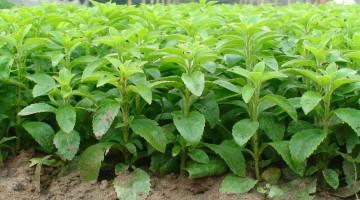 Бизнес идея — Стевия. Выращивание и продажа целебного растения от диабета