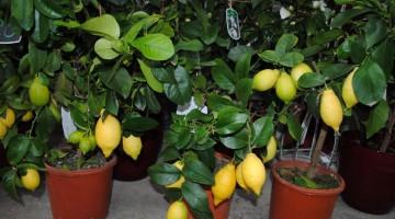 Идея бизнеса — Как вырастить лимон на продажу. Продажа лимонных деревьев
