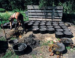 Выращивание нимфей (кувшинок)