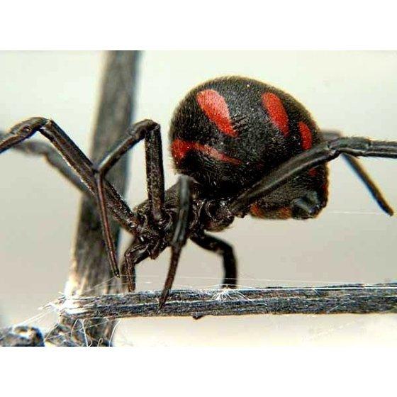 Бизнес идеи - разведение ядовитых пауков (каракуртов)