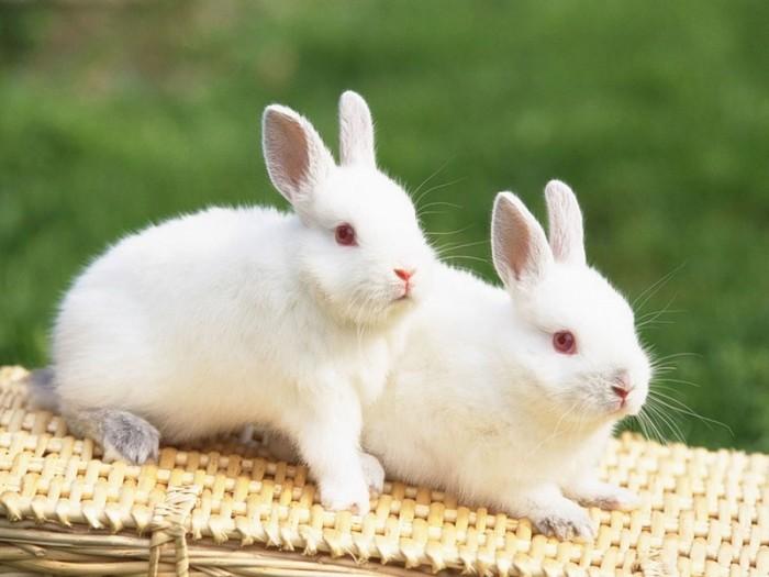 Содержание и уход за декоративными кроликами
