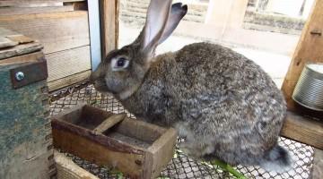 Как забить кролика дома