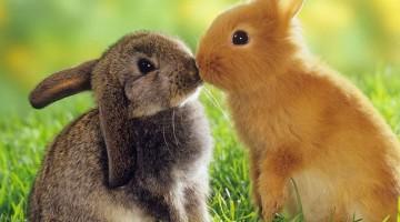 Случка или спаривание кроликов