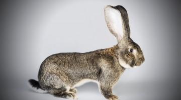 Кролики породы фландр