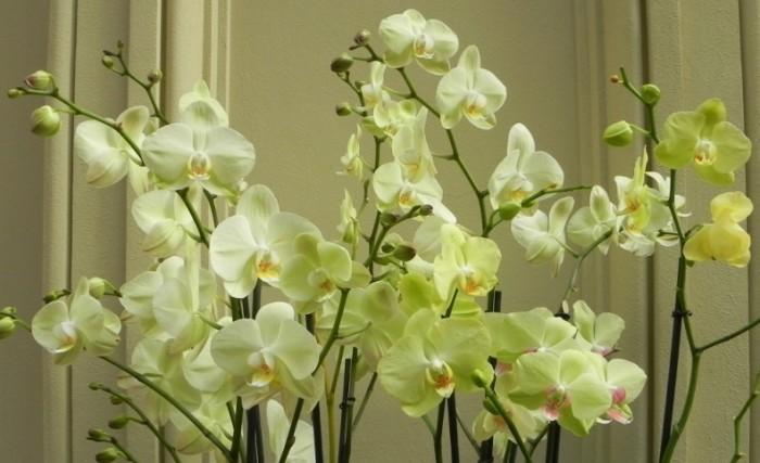 1354630140_razvedenie-orhidey-domashniy-biznes