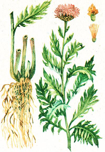 Бизнес на лекарственных растениях (Левзея Сафлоровидная)
