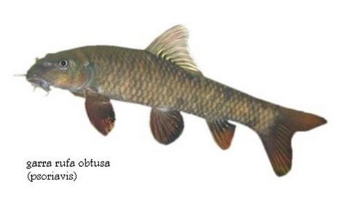 Рыбки Гарра Руфа. Пилинг рыбками.