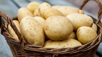 Сельский бизнес: «ранний» картофель круглый год