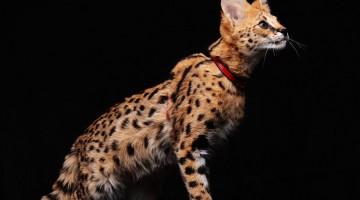 Ашера-самая дорогая кошка