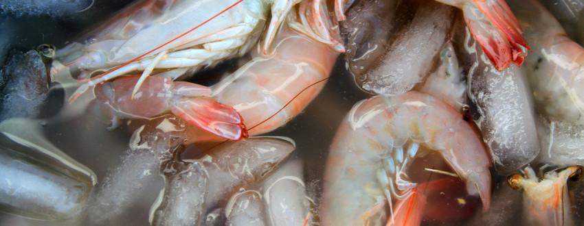 Бизнес идея — выращивание гигантской креветки
