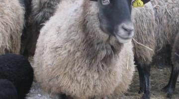 Разведение романовских овец