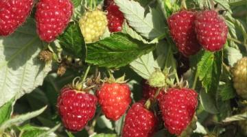 Идеи бизнеса — Выращивание элитных сортов малины