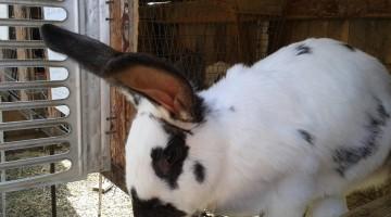 Лучшая порода для разведения кроликов