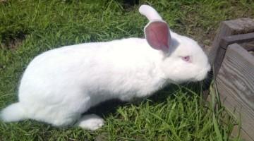 Кролики белый великан