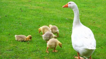 Бизнес план разведения гусей