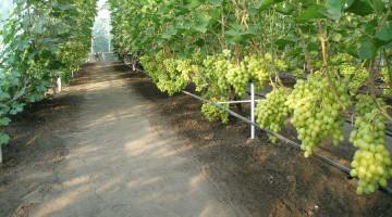 Бизнес на винограде