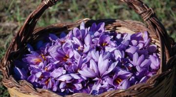 Бизнес идеи — Приправа шафран. Выращивание самой дорогой специи в мире.