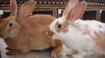 Бизнес идеи — Разведение карликовых кроликов