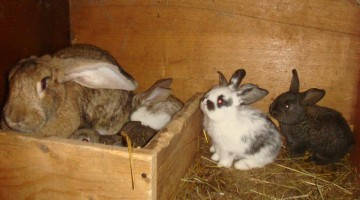 Выращивание молодняка кроликов