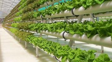 Выращивание зелени в теплице: бизнес-план и его реализация, технологии и перспективы