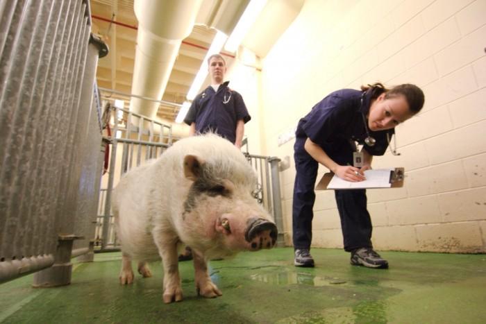 Ветеринарный врач осматривает хряка