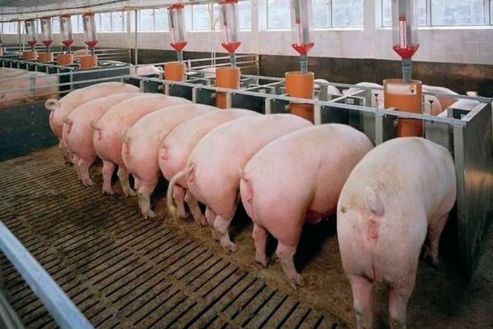 Датская технология свиноводства