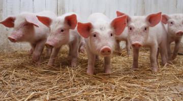 Как открыть свиноферму с нуля: подробный бизнес-план