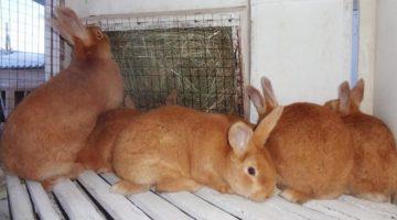 Породы кроликов: названия, описания, фотографии
