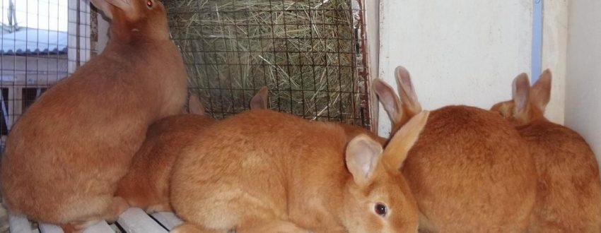 Породы кроликов с фотографиями